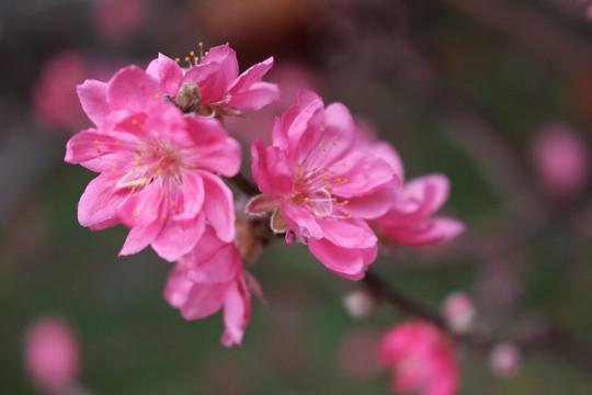 Vào Nam, gặp trời nắng ấm, thời tiết thuận lợi nên đào nhanh chóng bung nụ, nở hoa. Những bông đào dịu dàng khoe sắc trong nắng.