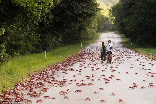 Cuộc di cư 'rầm rộ' của hàng triệu con cua đỏ - Ảnh 6.