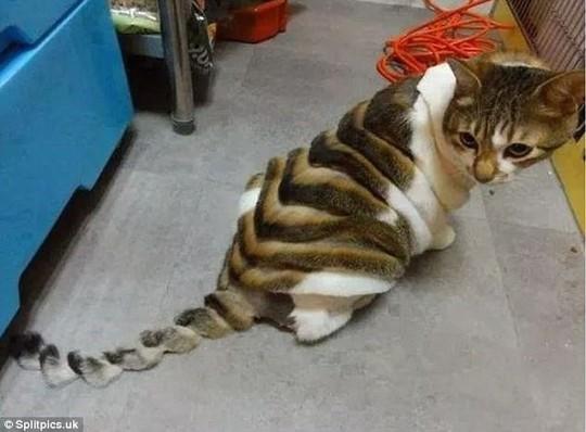 Những chú mèo có bộ lông độc đáo ai cũng phải bật cười - Ảnh 5.