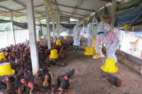 Lực lượng chức năng thu gom một đàn gà ở xã Phổ Cường để tiêu hủy