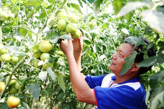 Theo ông Nhã, ở đất B'Lao (TP Bảo Lộc) hầu hết ai cũng canh tác cà phê và trà (chè), nhiều năm trở lại đây giá cả những loại cây này lại không ổn định khiến nhiều người gặp khó khăn. Trước tình hình kinh tế bấp bênh, ông Nhã đã mạnh dạng chuyển đổi đất trồng trà sang trồng cây cà chua giống Nhật Bản.