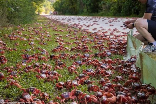 Cuộc di cư 'rầm rộ' của hàng triệu con cua đỏ - Ảnh 7.