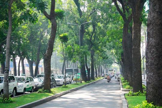 Hàng cổ thụ trên đường Tôn Đức Thắng, quận 1, TP HCM  Ảnh: HOÀNG TRIỀU