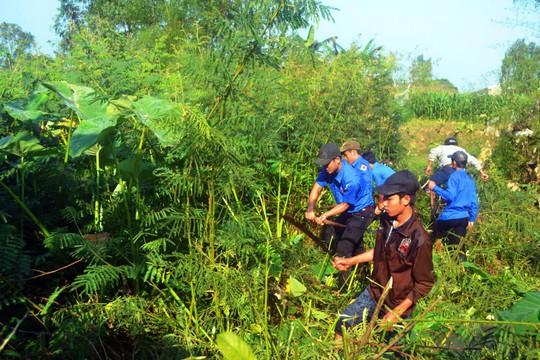 Thanh niên huyện Nghĩa Hành, tỉnh Quảng Ngãi chặt bỏ cây mai dương Ảnh: TỬ TRỰC
