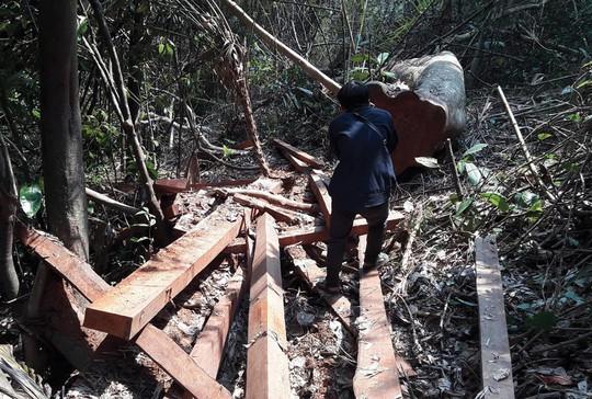 Rừng phòng hộ ở huyện Bắc Trà My, tỉnh Quảng Nam bị tàn phá mới đây Ảnh: TRẦN THƯỜNG