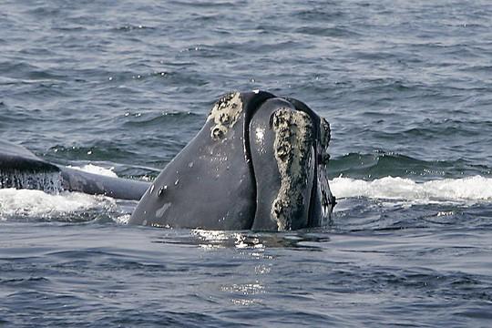 Cá voi sắp tuyệt chủng - Ảnh 1.