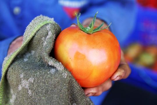 """Đặc biệt, giống cà chua Nhật Bản Sakata này còn cho """"trái khủng"""" khoảng hơn 550 g – gần 1kg/quả"""