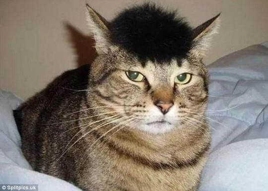 Những chú mèo có bộ lông độc đáo ai cũng phải bật cười - Ảnh 10.