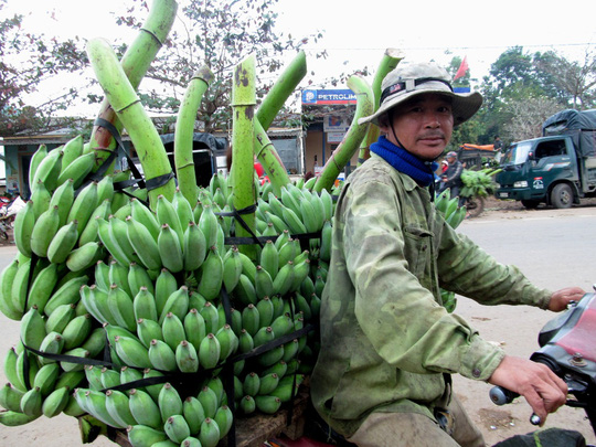 Chuối trồng trên địa bàn huyện Hướng Hóa có màu sắc đẹp, trái to và thơm ngon