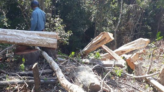 Những cây gỗ bị đốn hạ chưa kịp đưa ra khỏi rừng