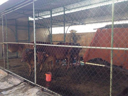 Bắt giam 30 con bò nghênh ngang trên quốc lộ - Ảnh 3.