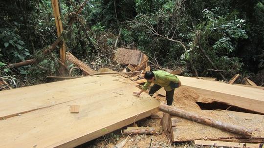 Một vụ chặt phá cây sa mu trái phép ở Nghệ An - Ảnh: Nghĩa Đàn