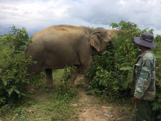 Hồi hộp chờ voi nhà vượt cạn - Ảnh 1.