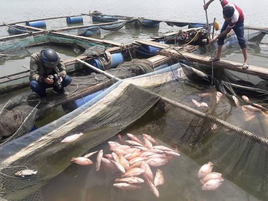 Đà Nẵng: Hơn 20 tấn cá nuôi chết hàng loạt chưa rõ nguyên nhân - Ảnh 5.