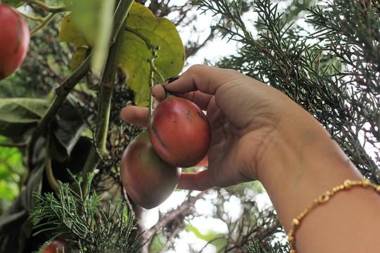 Cà chua cả triệu đồng 1 kg