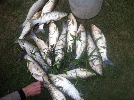 Cá người dân bị chết sau sự cố vỡ hồ chứa nước thải - Ảnh Ca Trương
