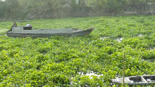 Ghe xuồng gặp rất nhiều khó khăn trong di chuyển do lục bình vây kín mặt sông