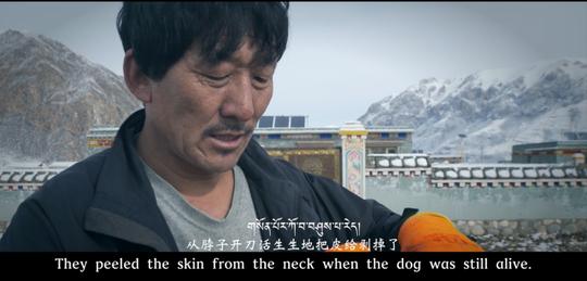 Thảm cảnh của chó ngao Tây Tạng - Ảnh 6.