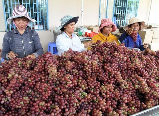 """Với """"Thương hiệu nông nghiệp nổi tiếng Việt Nam"""", nho Ninh Thuận thuận lợi hơn trong việc nâng cao giá trị thương phẩm"""