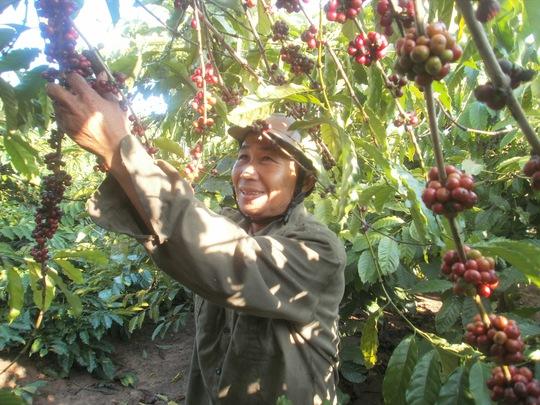 Người trồng cà phê chưa được hưởng lợi trong chuỗi giá trị