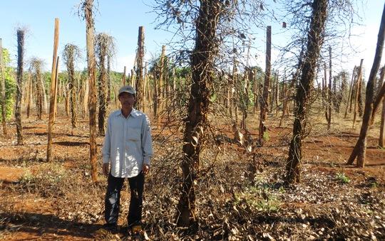 Hàng trăm hecta hồ tiêu của nông dân Tây Nguyên bị trụi lá Ảnh: Hoàng Thanh
