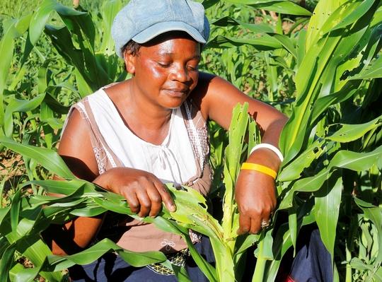 Một nông dân đang kiểm tra cây ngô bị sâu bướm phá hoại ở Zambia Ảnh: Reuters