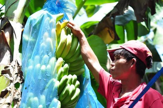 Người trồng chuối tại Đồng Nai lao đao vì chuối rớt giá, không có người mua