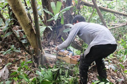 Việc đốn hạ cây rừng để giao đất cho dự án chăn nuôi bò đang được lãnh đạo tỉnh Phú Yên khẳng định là đúng quy trìnhẢnh: Đức Nhuận