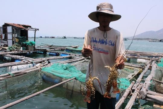 Tôm hùm gần đến kỳ thu hoạch bị chết hàng loạt ở TP Cam Ranh, tỉnh Khánh HòaẢnh: KỲ NAM