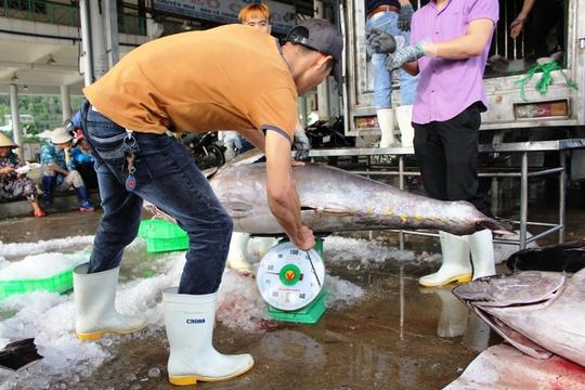 Một chú cá ngừ đại dương đạt gần 80 kg