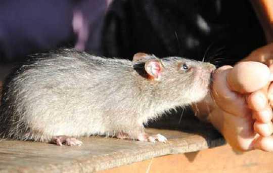 Nhập viện cấp cứu vì chuột cắn - Ảnh 2.