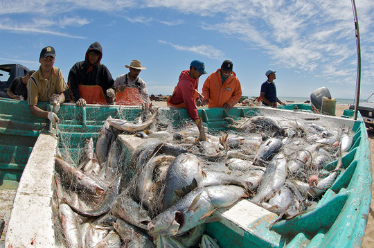 Loài cá yêu ầm ĩ đến mức… làm cá heo bị điếc - Ảnh 1.