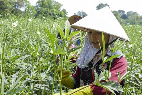 Đậu bắp giống Nhật thích nghi với thổ nhưỡng ở vùng biên tỉnh An Giang