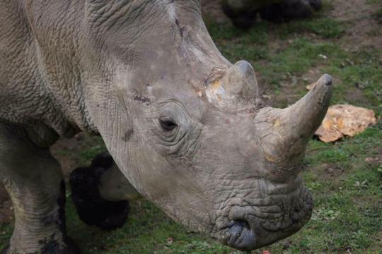 Tê giác đực 4 tuổi Vince. Ảnh: REUTERS