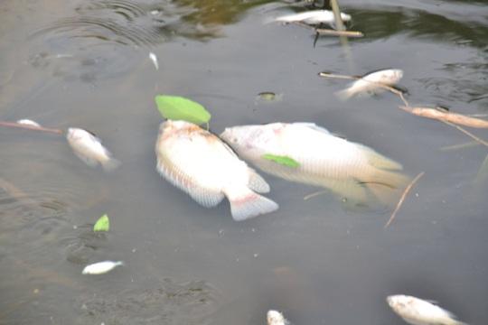 Cá to cá nhỏ đều chết trắng
