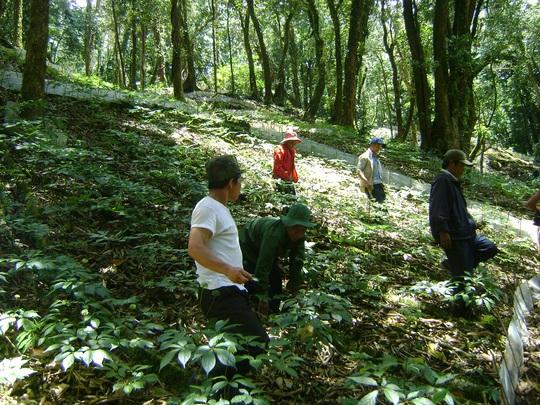 2 đối tượng trong đó có cán bộ bảo vệ rừng trộm cả vườn sâm Ngọc Linh của người dân