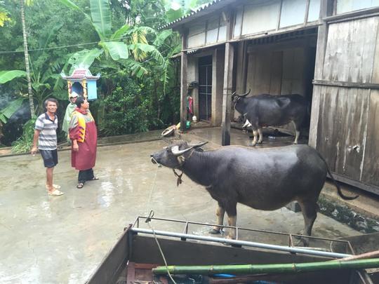 Một hộ dân ở tỉnh Quảng Bình di dời trâu đến nơi ở của người để tránh lũ trong tháng 10-2016 Ảnh: Duy Cường