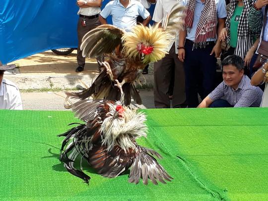 Chọi gà tre Tân Châu : Hết xuýt xoa đến cười sảng khoái - Ảnh 3.