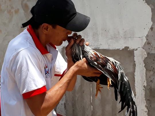 Chọi gà tre Tân Châu : Hết xuýt xoa đến cười sảng khoái - Ảnh 5.
