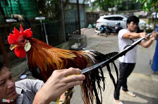 Cũng theo anh Hông, sau gần một năm nuôi dưỡng, trong đàn gà của anh Hồng đã có những con đuôi dài hơn 2 m, bán với giá 65 triệu đồng cặp.