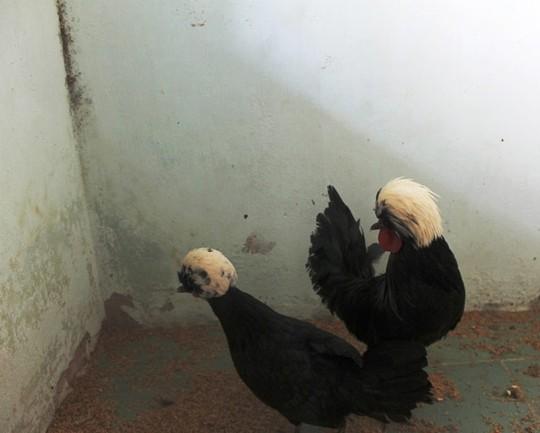 Giống gà này cũng đến từ Ba Lan lông đen óng như than và trên đầu đội 1 chùm lông trắng dài như bờm sư tử