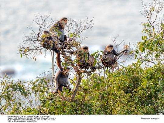 Phát triển du lịch ở Sơn Trà làm tăng nguy cơ ảnh hưởng nghiêm trọng đến môi trường sống của loài Vọoc Chà vá Chân Nâu.