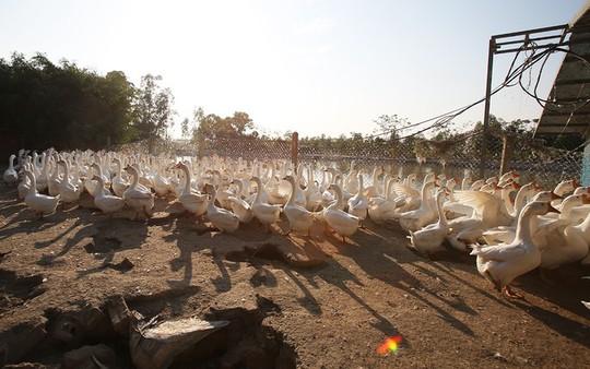 Trang trại 1.000 con ngỗng trắng ở Bắc Ninh - Ảnh 1.