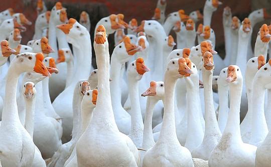 Trang trại 1.000 con ngỗng trắng ở Bắc Ninh - Ảnh 2.
