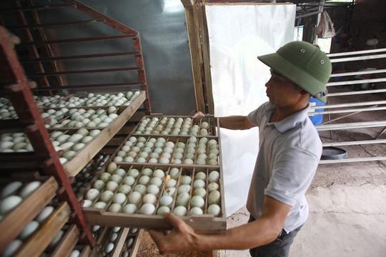Trang trại 1.000 con ngỗng trắng ở Bắc Ninh - Ảnh 5.