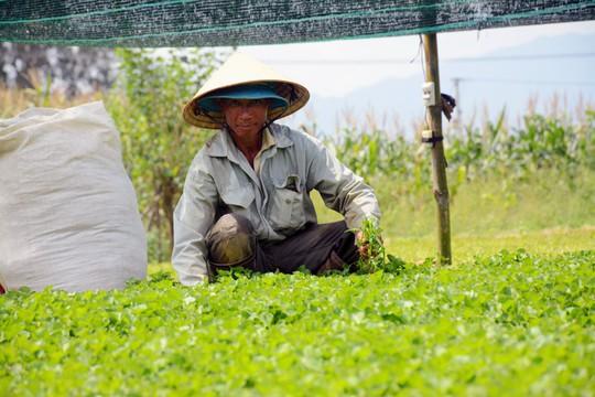 Chê cười điên trồng rau dại: Cả làng ngả mũ lão nông khác người - Ảnh 1.