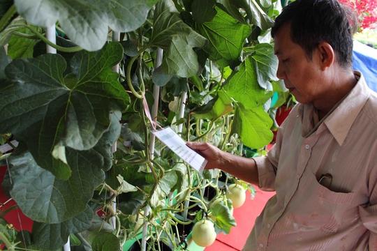 Mô hình trồng dưa lưới theo công nghệ Nhật Bản cho năng suất 3,5 tấn/vụ được nhiều nông dân quan tâm.