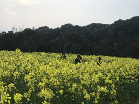 Hoa cải nở vàng rực trên đảo