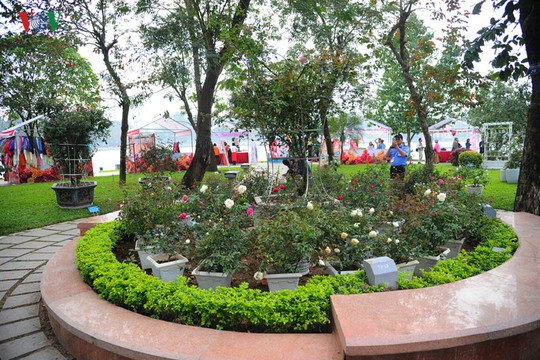 Trong khuôn viên đảo, hoa hồng được bày trong chậu. Theo quan sát của PV, hoa nở lác đác, không nhiều.