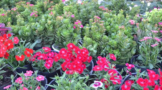 Hồng nhung cũng không kém cạnh so với các loại hoa khác